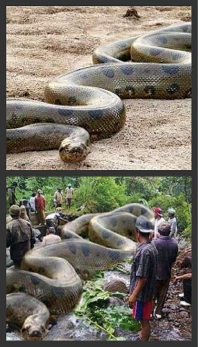 fact check was the worlds largest snake captured in the