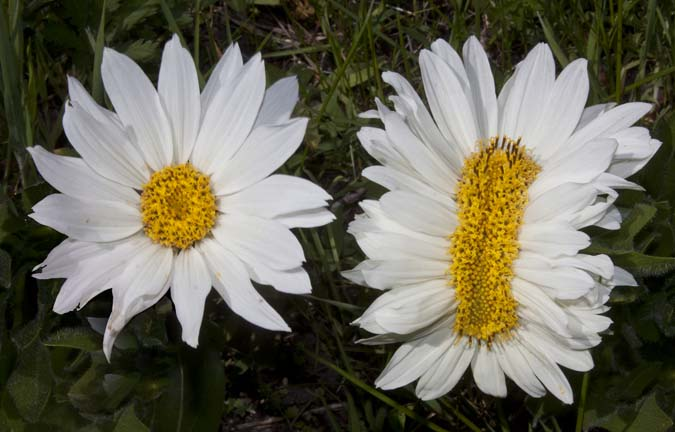 Image result for mutant daisies