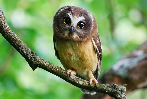 The Photograph Appears To Depict A Pygmy Owl An Avian Creature That Is Generally Brown With Yellow Eyes And Not Teal Magenta