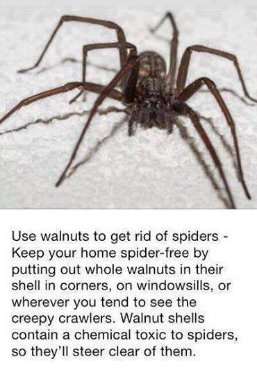 While That Meme Specifically Identified Walnuts As An Arachnid Deter Similar Home Remes For Repelling Spiders Involving Horse Chestnuts